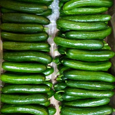 cucumber_terra bella